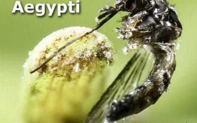 Aedes Aegypti: vamos combatê-lo!